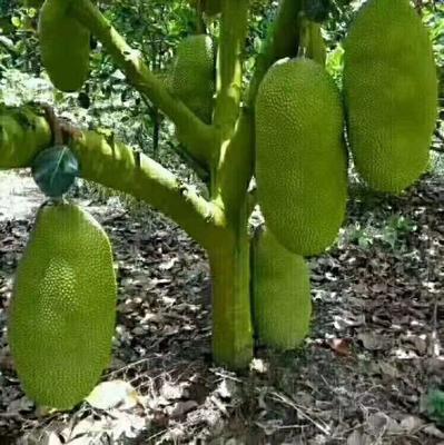 广西壮族自治区玉林市玉州区海南菠萝蜜  15斤以上 重量28斤起步