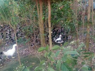 广西壮族自治区北海市海城区青头麻鸭 5-6斤 统货 半圈养半散养