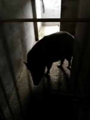 江西省宜春市丰城市特种野猪 统货 80斤以上