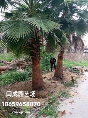福建省漳州市漳浦县华盛顿的华棕 老人葵5-6米【闽成