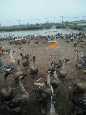 广西壮族自治区北海市合浦县狮头鹅 10-12斤 统货 半圈养半散养