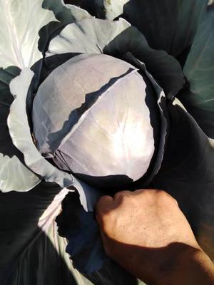 云南省楚雄彝族自治州元谋县紫甘蓝 2.0~2.5斤
