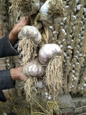 甘肃省张掖市民乐县民乐紫皮大蒜 5.5-6.0cm 多瓣蒜