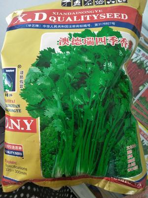 江苏省连云港市海州区香菜种子