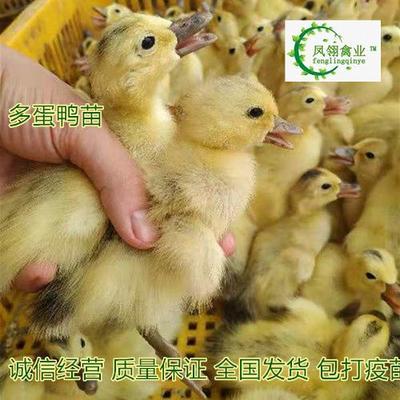 广西壮族自治区防城港市东兴市蛋鸭苗