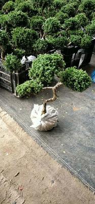 云南省昆明市呈贡区迎客松盆栽