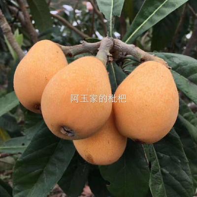 福建省漳州市云霄县早钟六号枇杷 0.7 - 1两