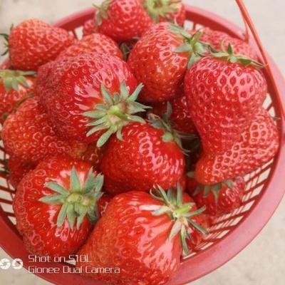 贵州省黔南布依族苗族自治州瓮安县奶油草莓 20克以上
