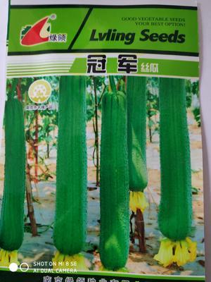 江苏省宿迁市沭阳县丝瓜种子  绿领:丝瓜种子瓜