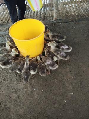 贵州省黔南布依族苗族自治州长顺县狮头鹅 12斤以上 统货 全散养