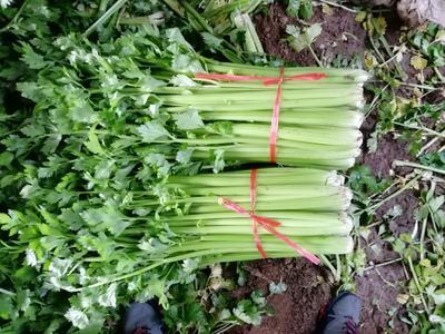 山西省运城市夏县西芹 60cm以上 0.5~1.0斤 大棚种植