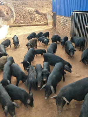 湖南省郴州市北湖区藏香猪 60斤以上