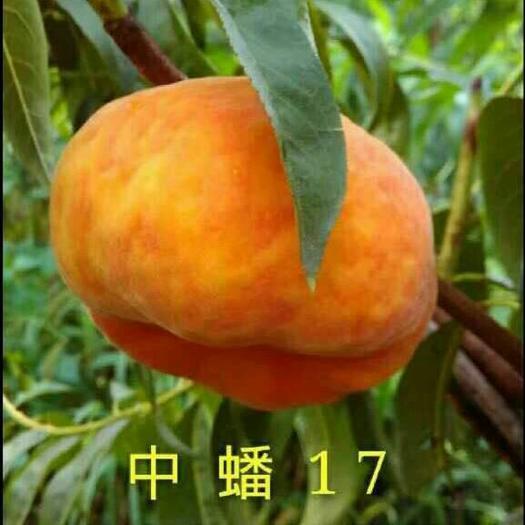 中蟠17号桃苗,品种桃,味甜,包邮