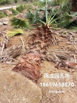 福建省漳州市漳浦县广东老人葵  2-2.5米【闽成】