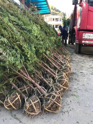 江苏省镇江市扬中市南方红豆杉 2.0~2.5米
