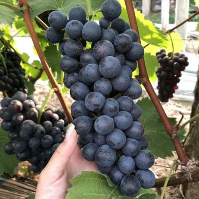夏黑葡萄苗 早熟品种 自然无核 耐储藏明年挂果 南北方种植
