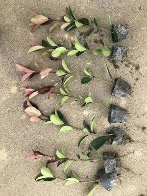 江西省九江市庐山区红叶石楠