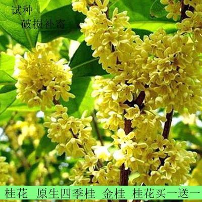 江苏省宿迁市沭阳县桂花树