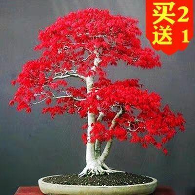 江苏省宿迁市沭阳县中国红枫