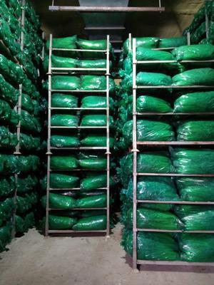 山东省烟台市莱州市铁杆青香菜 35cm以上