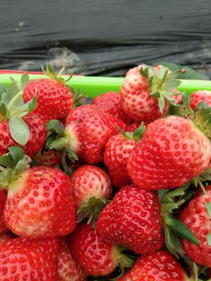 广西壮族自治区桂林市全州县奶油草莓 20克以上