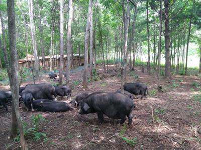 黑龙江省哈尔滨市通河县藏猪 80斤以上