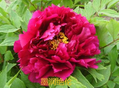 山东省菏泽市牡丹区观赏牡丹 0.5米以下 2cm以下 4cm以下