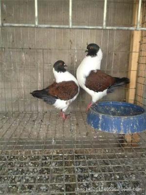 山东省菏泽市巨野县摩登那鸽子 500-600克