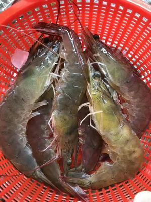 广东省潮州市饶平县中国对虾 人工殖养 2-4钱