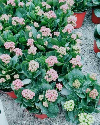 山东省潍坊市青州市长寿花盆栽