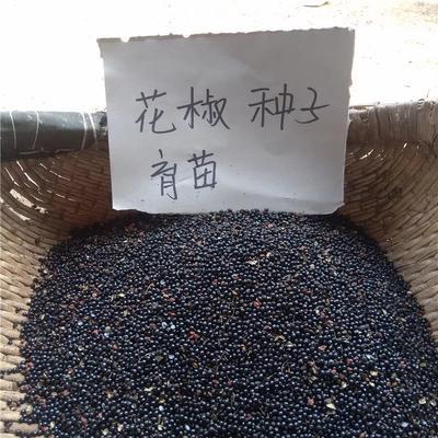 江苏省宿迁市沭阳县花椒种子