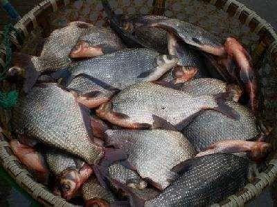 江苏省扬州市宝应县池塘鳊鱼 人工养殖 1-1.5公斤