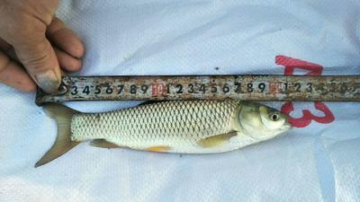 四川省泸州市纳溪区池塘草鱼 人工养殖 0.05公斤
