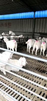 甘肃省张掖市临泽县杜泊绵羊 50-80斤