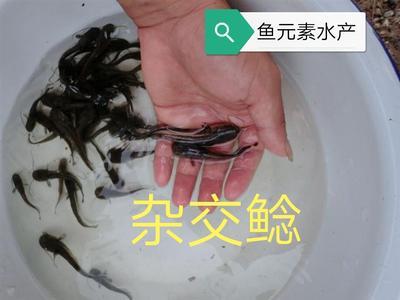 广东省清远市清城区杂交大口鲶 人工养殖 0.5公斤以下