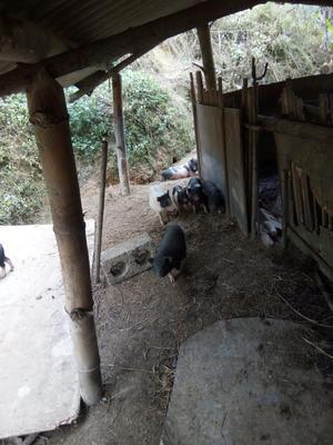 福建省福州市罗源县巴马香猪 20斤以下