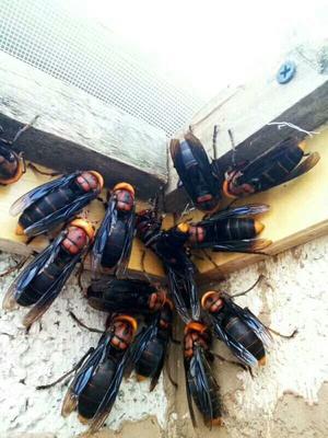 云南省昆明市五华区马蜂  红娘,黄脚蜂,苍蝇蜂