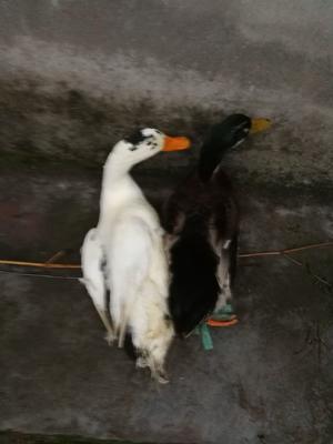 四川省达州市宣汉县肉鸭 4-5斤 母 全散养