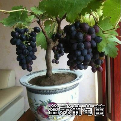 山东省临沂市兰山区盆栽葡萄苗