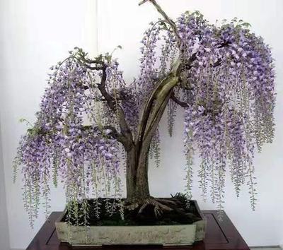 云南省昆明市呈贡区多花紫藤 0.5米以下 1公分以下