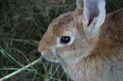 重庆黔江区野兔 3-5斤