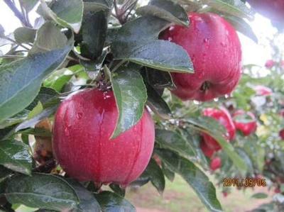 甘肃省平凉市庄浪县红富士苹果 75mm以下 条红 纸袋