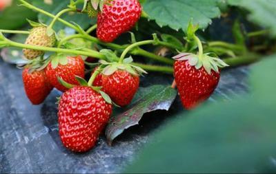 河南省商丘市梁园区奶油草莓 20克以上