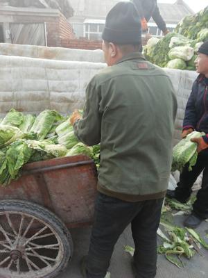 黑龙江省哈尔滨市阿城区北京3号大白菜 3~6斤 毛菜