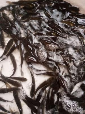 四川省广安市武胜县水库草鱼 人工养殖 0.05公斤