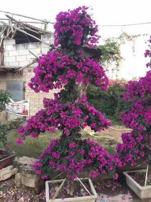 广西壮族自治区玉林市玉州区红宝石/红叶海棠