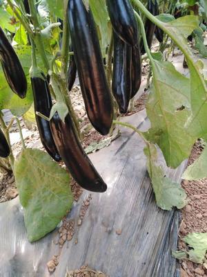 云南省红河哈尼族彝族自治州弥勒市黑霸王茄子 20~30cm 圆茄