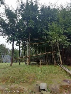 广西壮族自治区桂林市龙胜各族自治县南方红豆杉 3.5米~5米