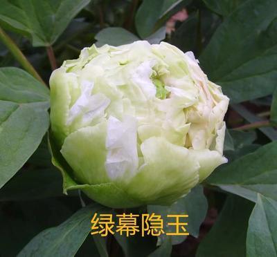 山东省菏泽市牡丹区观赏牡丹 0.5米以下 2cm以下 4~6cm