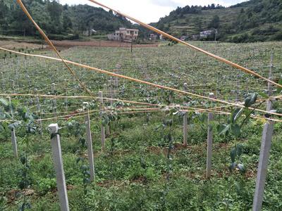 贵州省贵阳市息烽县麻皮八月瓜 150g以上 种植